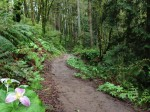 Trilliums Blooming on the Ridge Trail in Forest Park, Portland, Oregon by Shannon Wilkinson